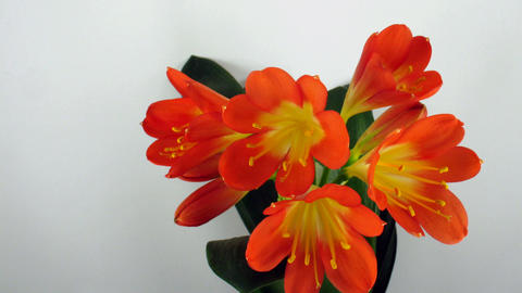Time-lapse of growing clivia flower 2 Stock Video Footage