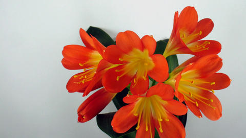 Time-lapse of growing clivia flower 2 Footage