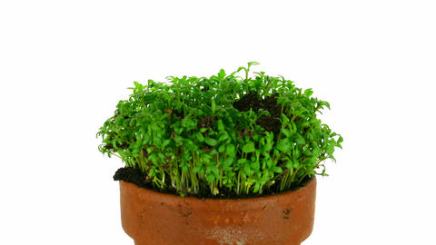 Time-lapse of growing cress plant 2 Stock Video Footage