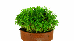Time-lapse of growing cress plant 2 Footage