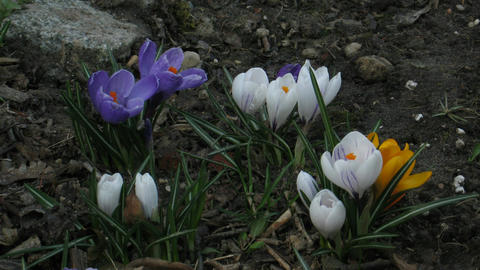 Time-lapse of colorful crocuses growing in a field 1 Stock Video Footage