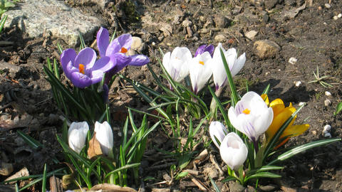 Time-lapse of colorful crocuses growing in a field 1 Footage