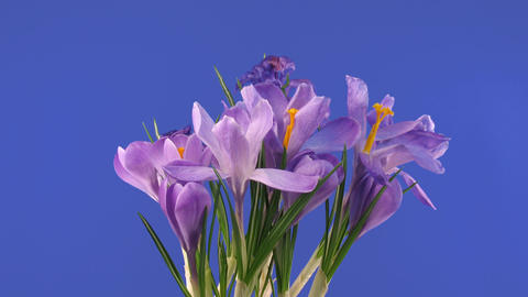 Time-lapse of growing and fading purple crocus 1 Stock Video Footage