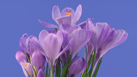 Time-lapse of fading purple crocus 3 Stock Video Footage