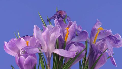 Time-lapse of fading purple crocus 3 Stock Video Footage