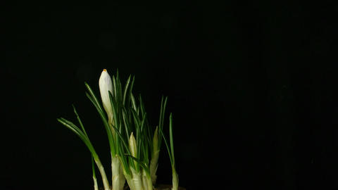 Time-lapse of growing white crocus 3 part A Stock Video Footage