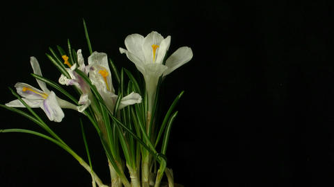 Time-lapse of growing white crocus 3 part C Stock Video Footage