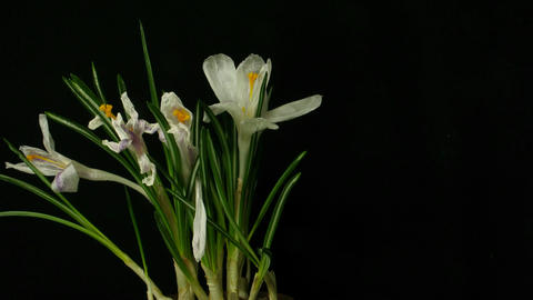 Time-lapse of growing white crocus 3 part C Footage