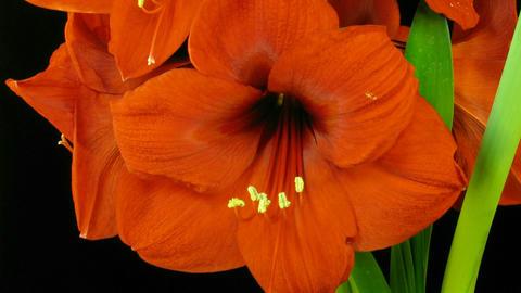 Amaryllis flower blooming timelapse 8 Stock Video Footage