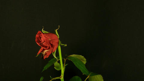 Time-lapse of dying red rose 2 Stock Video Footage
