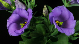 Time-lapse of blooming eustoma 2 Stock Video Footage