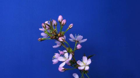 Time-lapse of blooming pink sakura 1 Stock Video Footage