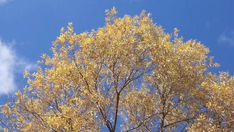 Treetop shaken wind 03 Stock Video Footage