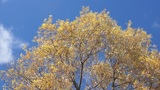 Treetop shaken wind 03 Footage