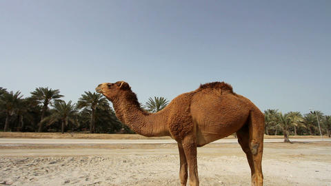Camel in desert Stock Video Footage