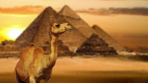Camel in desert Footage