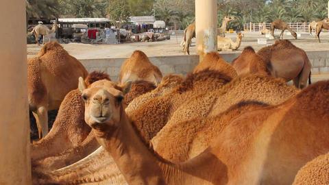 Camel farm in bahrain Stock Video Footage
