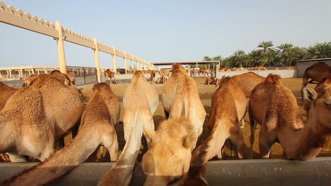 Camel farm in bahrain Footage