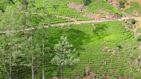Sri Lanka tea garden mountains Footage