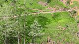Sri Lanka Tea Garden Mountains stock footage
