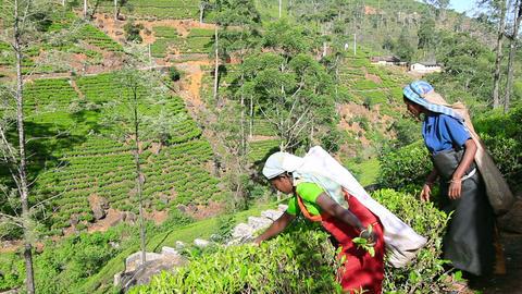 SRI LANKA - MARCH 2012: worker picking tea Stock Video Footage