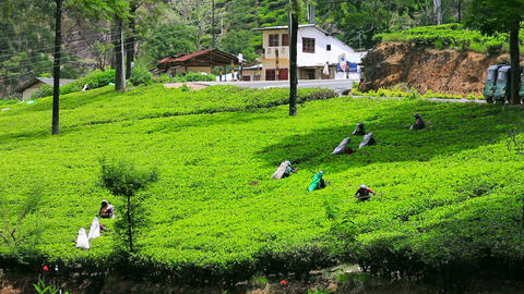 worker collecting tea in sri lanka Stock Video Footage