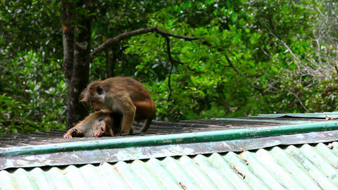 monkeys cleaning louse Footage