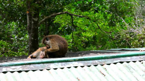 monkeys cleaning louse Stock Video Footage