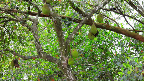 jackfruit on tree in nature Stock Video Footage