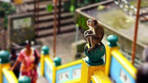 monkeys in batu cave Stock Video Footage
