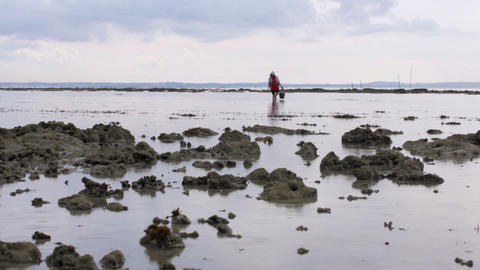 gathering oyster during low tide Footage