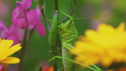 Green grasshopper on Aquilegia Footage