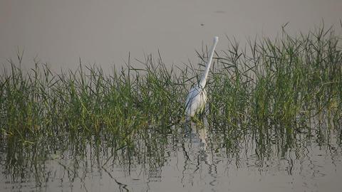 White Heron on a Man Sagar Lake Footage