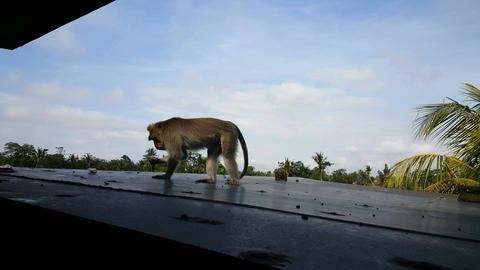 Wild Macaque monkey on roof of home in Ubud, Bali Footage