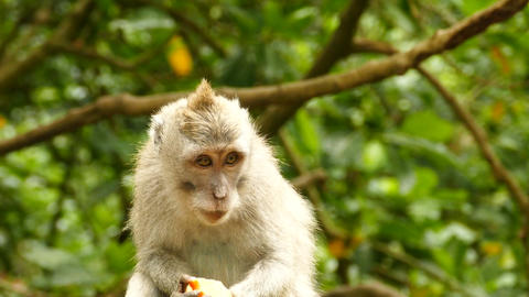 Close up Macaque monkey eating in Monkeyforest, Ubud, Bali Footage