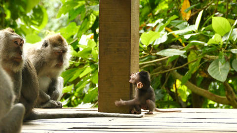 Macaque monkey family with baby at Monkeyforest in Ubud, Bali Footage