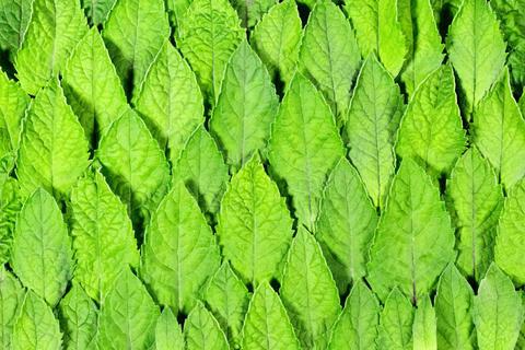 Fresh mint leaves pattern Photo