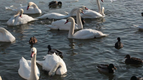 White swans and ducks floating in pond Footage