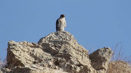 Peregrine Falcon standing on a rock Footage