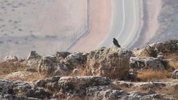 Peregrine Falcon Footage