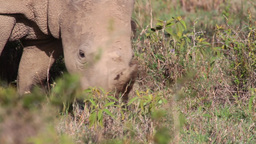 White rhino from Kenya Footage