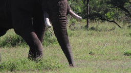 African Elephant from Kenya Footage