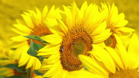 Bee Flying and Pollinating Sunflower Archivo