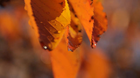 Autumn Leaves / Fall Colors / Droplet - Fix ビデオ