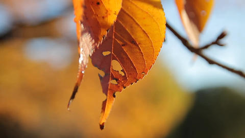 Leaf with Holes / Autumn Leaves / Fall Colors / Bokeh - Fix ビデオ