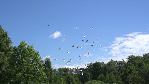 Flock of pigeons fly over green trees in clear sky. Slow motion shot Bild