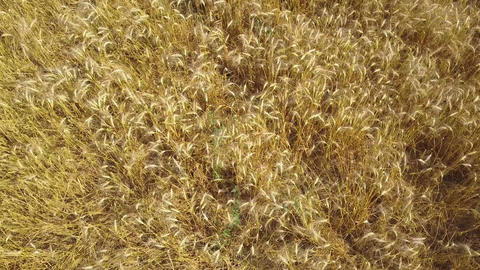 Aerial: flying above goldish wheat ears on farming field Footage
