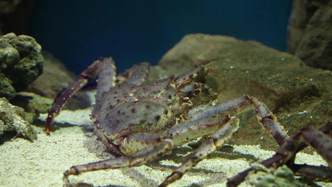 Red king crab Footage