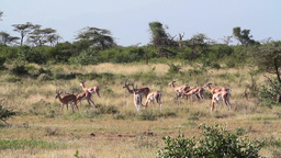 Impala Herd from Kenya Footage