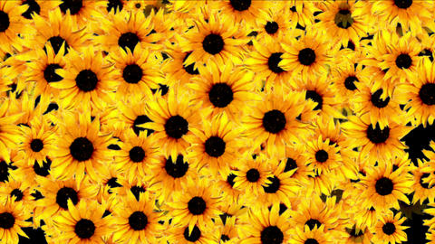 4k Daisy Wedding Background,wildflower Flower Plant Bloom Pattern,vitality stock footage